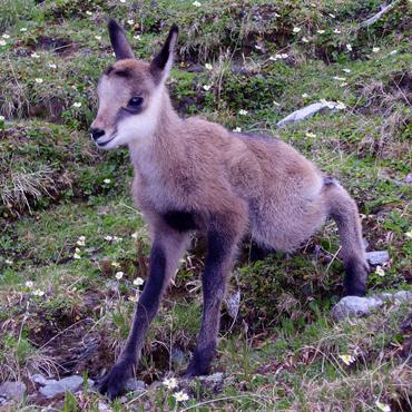 Fauna Carpatilor 4